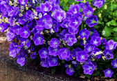Purple Campanula Bellflower — Stock Photo