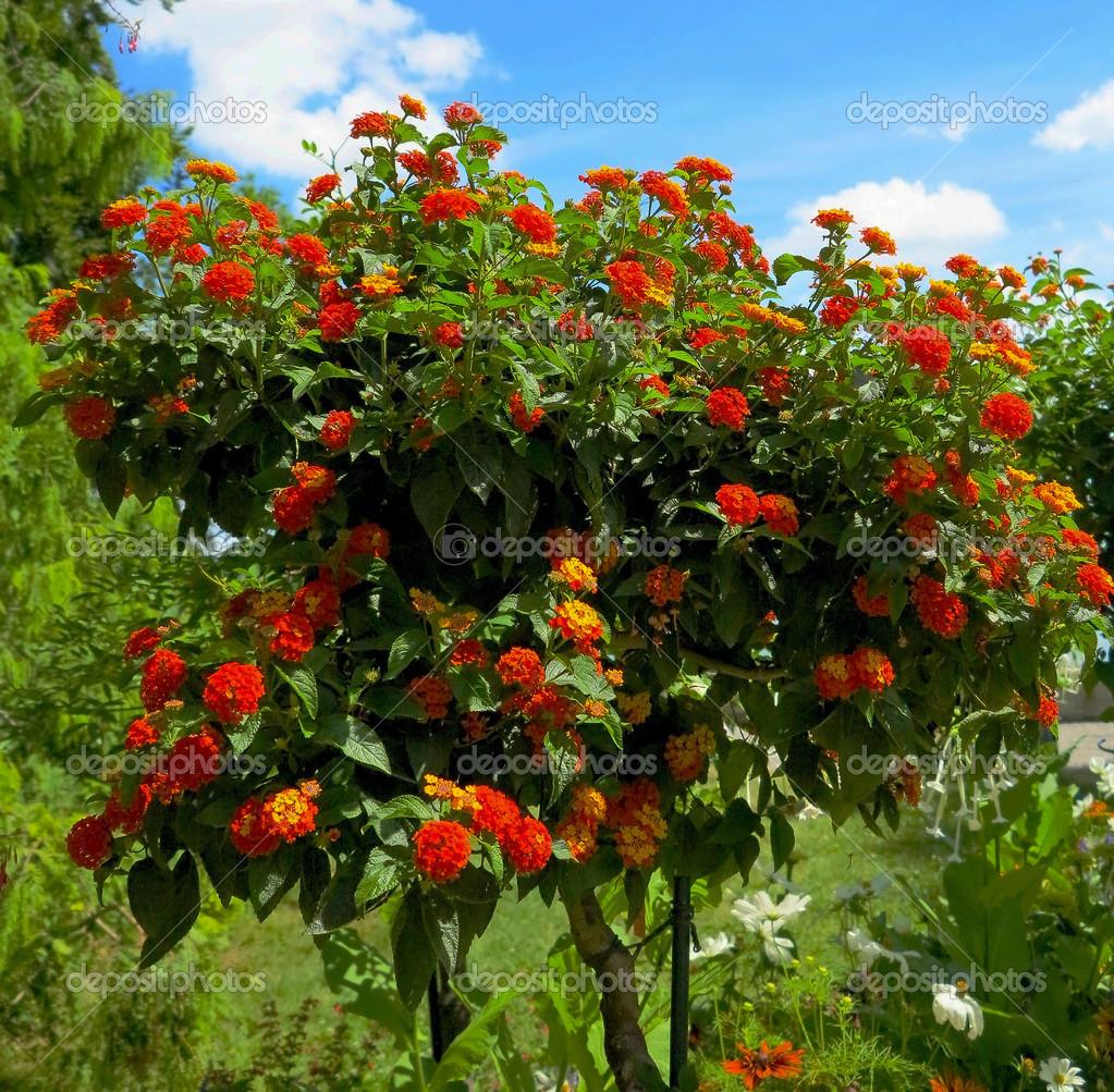 Albero in fiore arancione lantana foto stock moskwa for Albero con fiori blu