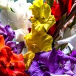 Colorful gladiolus flowers — Stok fotoğraf