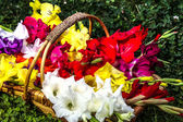 Colorful gladiolus flowers in basket — Stock Photo