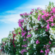 Stock Photo: Colorful oleander wall along road