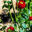 Red pompon dahlias in garden — Stock Photo #30019717