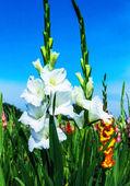 White gladiolus flowers — Stock Photo