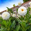 White pompon dahlias in a garden — Stock Photo #31843649