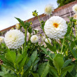 White pompon dahlias in a garden — Stock Photo
