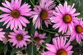 Pink cone flower in a garden — Stock Photo