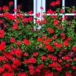Red geraniums in front of white window — Stock Photo