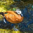 African orange duck, Fulvous Whistling Duck, Dendrocygna — Stock Photo