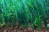 Plantas de alho-poró jovem no início do verão — Fotografia Stock