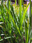 Lemon grass, Citronnelle plant — Stock Photo
