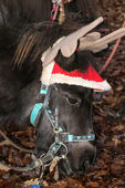 Shetland pony decorated for Christmas — Stock Photo