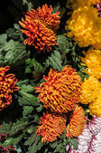 Yellow and orange pompon chrysanthemum — 图库照片