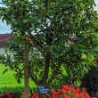 Stock Photo: Pear tree