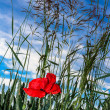 Red poppy flower in wheat field — Stock Photo