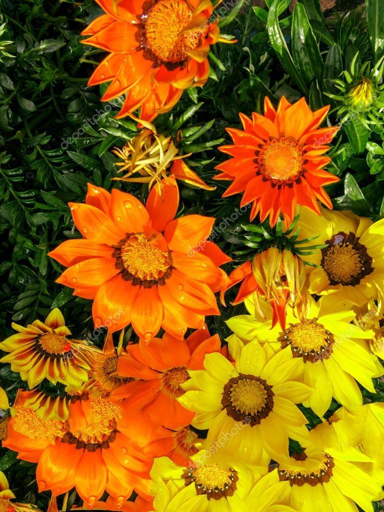 Fiori gialli e arancio gazania — Foto Stock © Moskwa #37870597