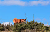 Landscape with brown cow — Stockfoto