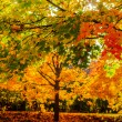 Stock Photo: Maple trees in bright autumn colors
