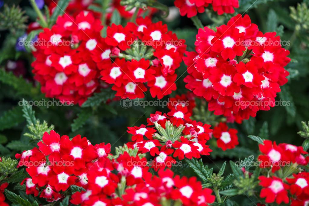 Цветы вербена в саду фото