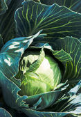 White cabbage — Stock Photo