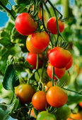 Growing tomatoes in a greenhouse — Stock Photo