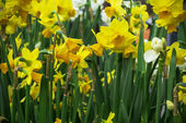 Yellow and orange wild daffodils — Stock Photo