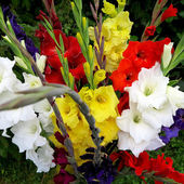Colorful gladiolus flowers — Stock Photo