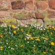 Dandelion meadow in front of stone wall — Stock Photo