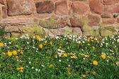 Dandelion meadow in front of stone wall — ストック写真