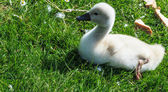 Baby Swan on the green meadow — Stock Photo