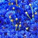 Blue Cornflower background — Stock Photo #48466241