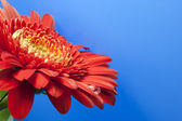 Red gerbera — Stock fotografie