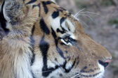 Panthera tigris — Stockfoto