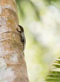 Side shot of an endemic green gecko of the Seychelles, walking down a wooden pillar — Stock Photo