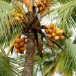 Coconut tree with a few yellow coconuts — Stock Photo #30905919