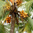 Coconut tree with a few yellow coconuts — Stock Photo