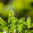 Russia. Nature and the forest. spruce branches — Stock Photo