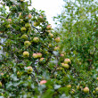 A lot of apples on an apple tree. natural landscape — Stock Photo