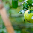 Green apple on a branch close-up — Stockfoto
