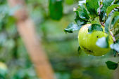 Green apple on a branch close-up — Foto Stock