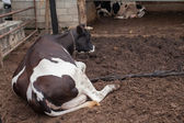 Cow laying down in cowshed — Stock Photo