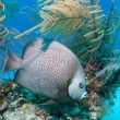 Stock Photo: Grey Angelfish