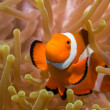 Clownfish in an Anemone — Stock Photo