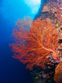 Giant gorgonian coral — Foto Stock