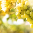 Green grapes on vine — Stock Photo #14181323