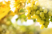 Green grapes on vine — Stock Photo