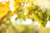 Gröna druvor vinstockar — Stockfoto