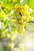 Green grapes on vine — Stock Photo
