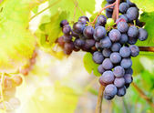 Blå druvor vinstockar — Stockfoto