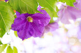 Clematis flowers — ストック写真