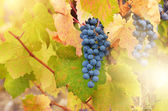 Blue grapes — Fotografia Stock